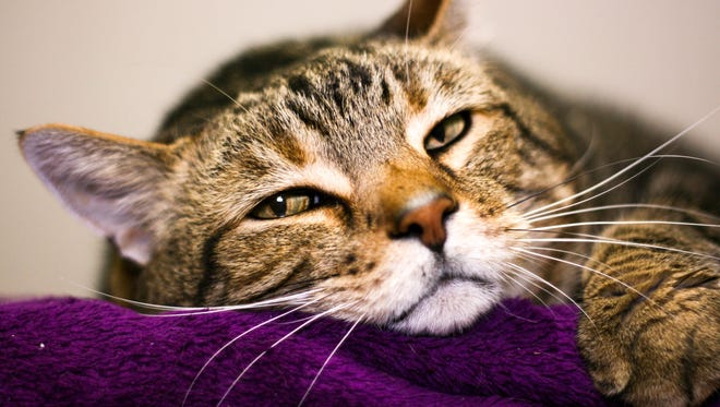 Chester loves human attention and can be adopted at Louisville Metro Animal Serivces.
