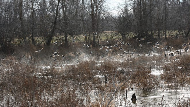 Waterfowl hunters are hoping a change in the weather will push some ducks southward and into Kentucky for the Thanksgiving Day opener. Mallards are at record numbers in North America.