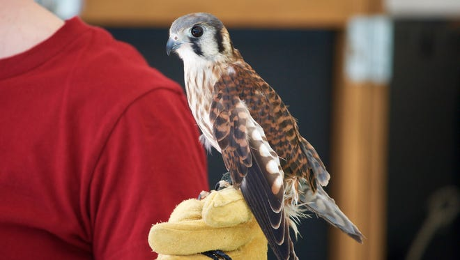 This American Kestrel is just one of the birds of prey that Aves Wildlife Alliance will bring to Oshkosh Bird Fest. This bird was injured and is not able to be released back into the wild, so, through special permitting, Aves uses him for educational programs.