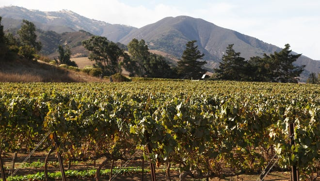 Harvested vines in the Santa Lucia Highlands appellation area