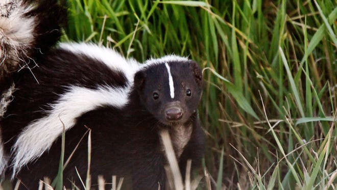 Skunks are more active during their mating season in the spring