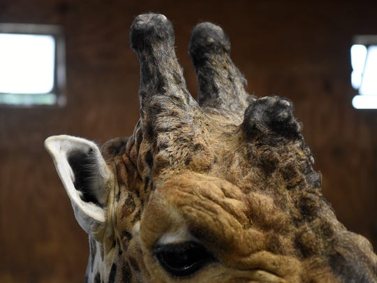 Jumbe the giraffe waits for his keeper Amber Howard to prepare her painting apparatus at Zoo Knoxville Tuesday, Sept. 5, 2017. Many of the animals at Zoo Knoxville paint as an enrichment activity.