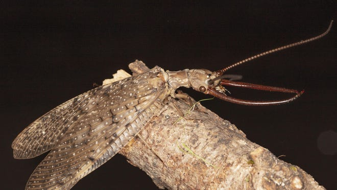A male dobsonfly displays its formidible mandibles.