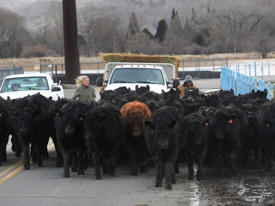 Livestock is brought back to the University of Nevada, Reno Farm following the flooding of the Truckee River  in January 2017.