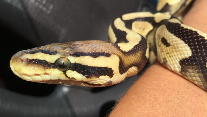 A juvenile ball python was found Sunday in a bedroom in Kaukauna. The discovery caused a stir on social media.