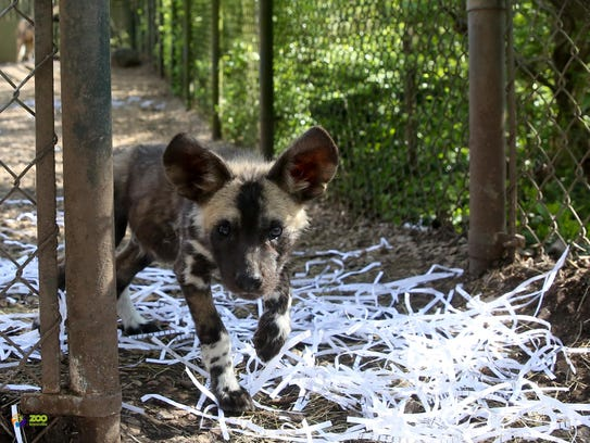 Afrcian Painted dog pups with their parents Swiss and