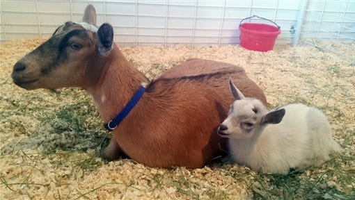 GusGus, right, sits next to his mother, Custard, after they are reunited at the Arizona State Fair in Phoenix, Thursday, Nov. 5, 2015. The baby pygmy goat that vanished from the fair came home to his mother surrounded by TV cameras and jubilant fairgoers.
