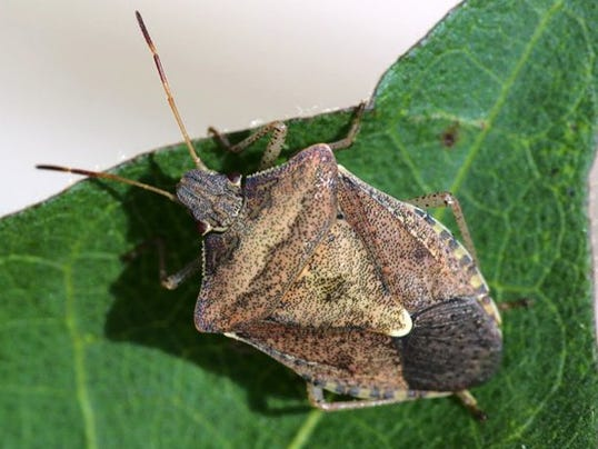 how to get rid of green stink bugs