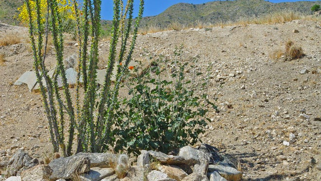 This ocotillo and desert mallow share a planting hole bounded on the downhill side with a rip-rapped basin.