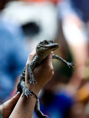 Alicia Greer shows Dewey, a two year old alligator to the crowd during a reptile show at the Earth Day Festival at the Conservancy of Southwest Florida on Saturday, April 18, 2015.