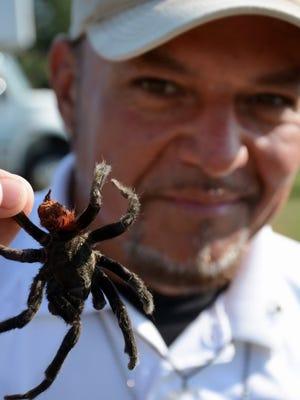 Park ranger Jimmy Alaniz holds a Mexican red rump tarantula.