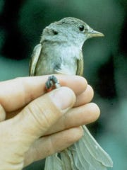 The endangered Southwestern willow flycatcher has adapted