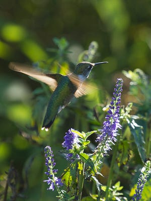 Ruby-throated hummingbird at Woodland Dunes in Two Rivers.