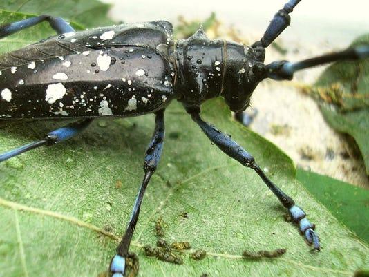 Asian_longhorned_beetle2