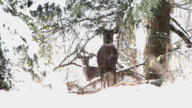 A couple of deer peer out from a snow covered tree off Quaker Hill Road in Pawling Nov. 21.