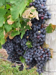 ELM 092114 grapes 2 jdm.jpg