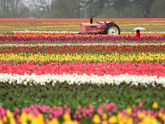 The Wooden Shoe Tulip Fest outside Woodburn on Sunday, April 15, 2018. The festival continues through May 6.