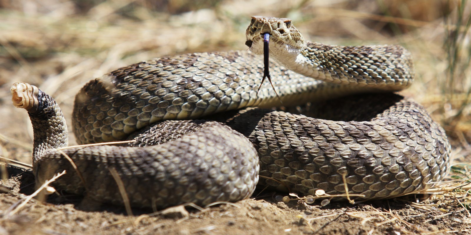 100s of rattlesnakes have been spotted in Central Pa  Here's