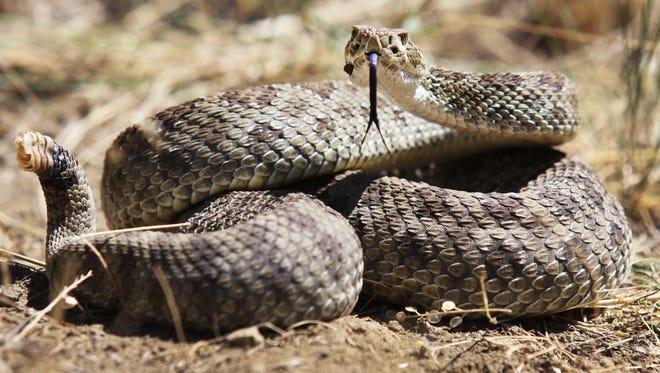 A prairie rattlesnake coils into striking position on a hillside near Livingston, Montana.
