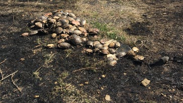 Grass fire reveals bizarre turtle poaching case in Bootheel
