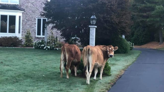 Two of the four cows that wandered through a Westboro neighborhood on Sunday.