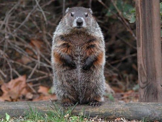 Woodchuck Standing_Darren Warner.jpg