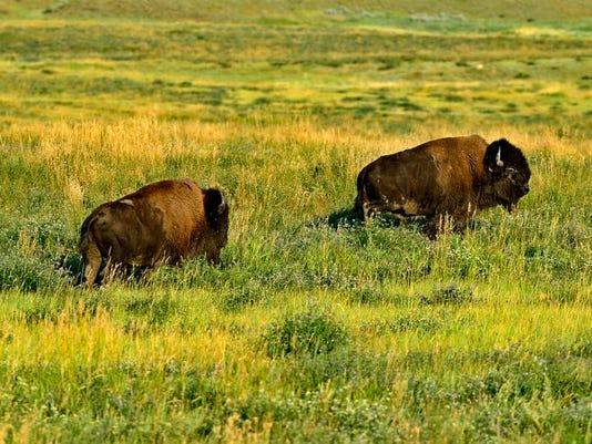 -FALBrd_09-27-2013_Tribune_1_A001~~2013~09~26~IMG_bison_1_1_FA587V1E_L293433.jpg