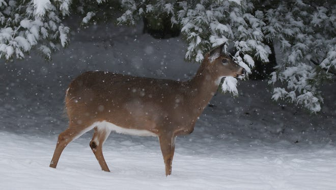 A deer pauses trying to figure out if it should hide in the woods or keep going in Tinker Nature Park.