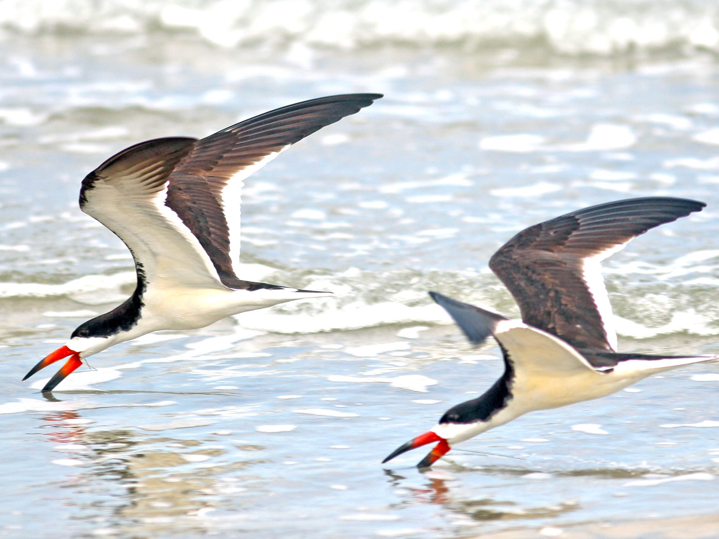 Black skimmers enjoyed nesting success after Harvey that was better than expected in stormed damaged habitats.