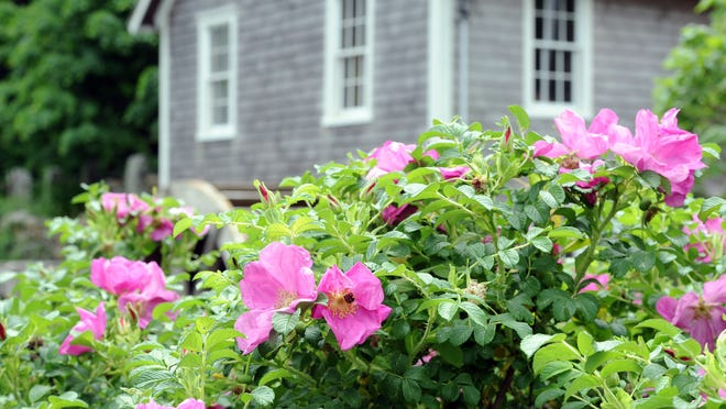 Rosa rugosa blooms in front of the Stony Brook Grist Mill.