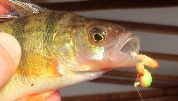 A yellow perch caught while ice fishing on Lake Poygan.