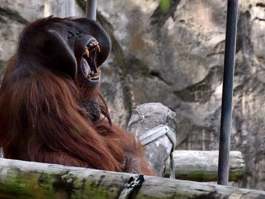 Pumpkin, a 30-year-old Bornean orangutan, yawns on