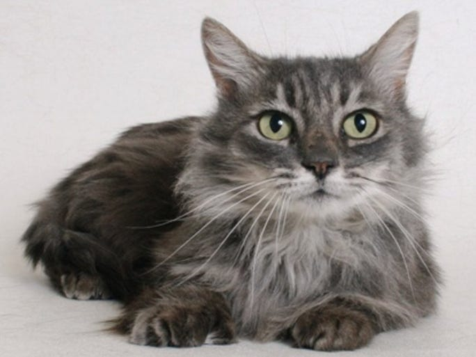 Cinderella is a social, 1-year-old, grey, female domestic longhair mix cat. She is available for adoption at Haven Humane Society. All feline and canine adoptions include spaying or neutering, vaccinations and a microchip. Visit Haven Humane Society, 7449 Eastside Road, Redding. Call 241-1653. Go to www.havenhumane.net.
