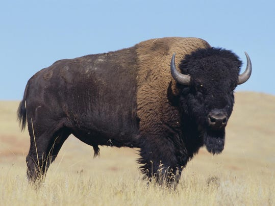 stock bison