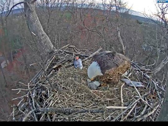 The first Hanover eaglet of 2016 hatched between Monday night and Tuesday morning.