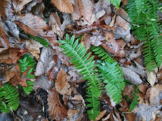 Ferns stay green throughout the winter.
