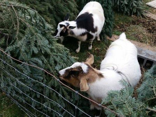 Christmas Goat.Goats Eat Her Christmas Trees