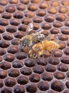An Africanized honey bee (left) and a European honey bee on honeycomb.