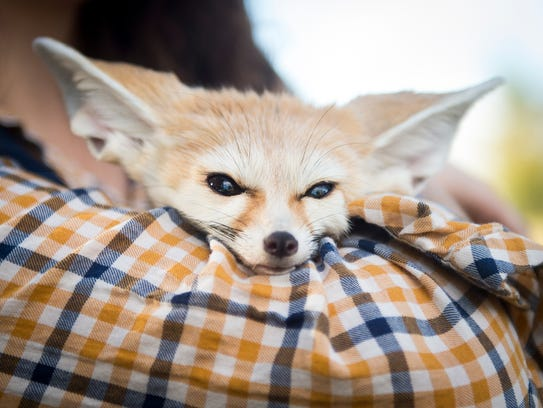 Felix the fennec fox rests in Victoria Klouda's arms