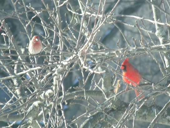 A house finch and northern cardinal in an old apple