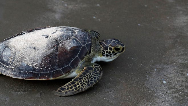 A sea turtle named Picasso carries the ashes of Tony Amos, 80, a renowned oceanographer, on it's back as it is released back into the Gulf of Mexico following a memorial service, Saturday, Sept. 30, 2017, in Port Aransas, Texas. Amos died of complications from prostate cancer on Sept. 4, mere days after Harvey roared ashore as a fearsome hurricane.