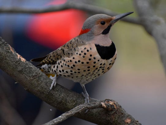 Northern flickers don't usually dine at feeders; they