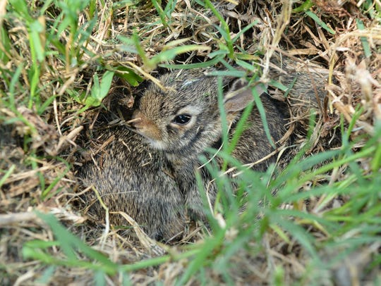 Baby rabbits in hole.