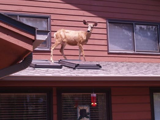 A deer spotted on top of an Evergreen roof Sunday afternoon.