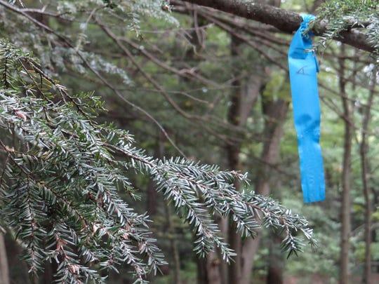 A blue ribbon marks a hemlock tree treated with adelgid