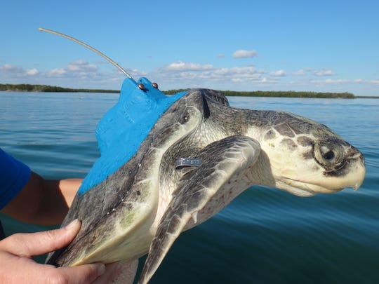 Kemp's ridley turtle instrumented with a satellite