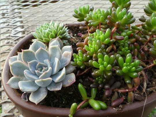 Grow succulents from mother plants.