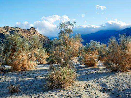 In winter, the smoke tree appears most like wisps of smoke.