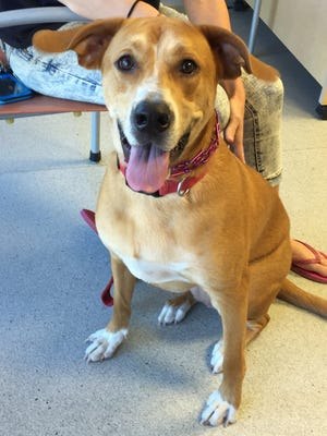 ADOPTED: Izzy is a 1-year-old, 70-pound retriever/hound mix looking for a forever home.