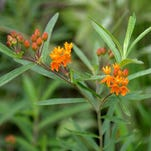 An Asclepias tuberosa, or butterfly milkweed, blooms in the midst of other wildflowers in the prairie, Tuesday, June 30, 2015. The milkweed is essential to keeping the butterflies in the prairie because it is one of the only flowers they use to pollinate.